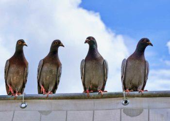 piccioni scuri