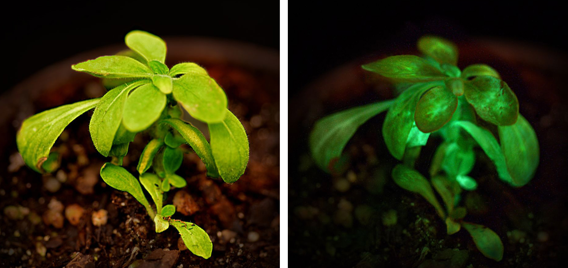 Piante Da Appartamento Ambiente Buio starlight avatar: dalle piante la luce del futuro - green.it