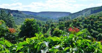 Una piantagione di caffè