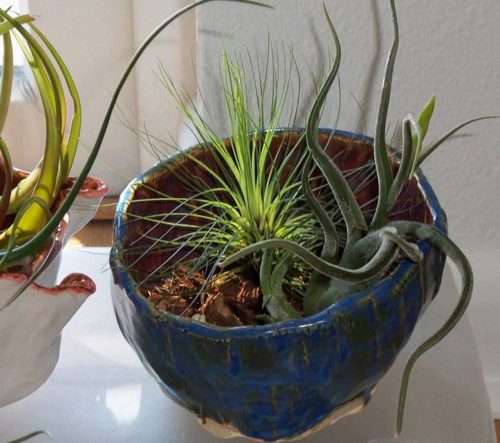 Tillandsia Filifolia, pianta anti inquinamento