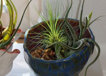 Tillandsia Filifolia, pianta anti inquinamento