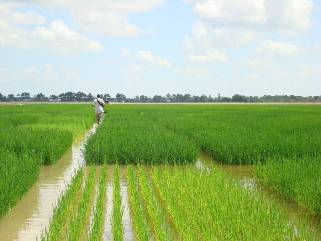 Un campo di riso