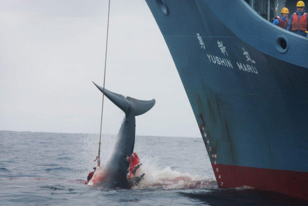 Una balena presa alla fiocina