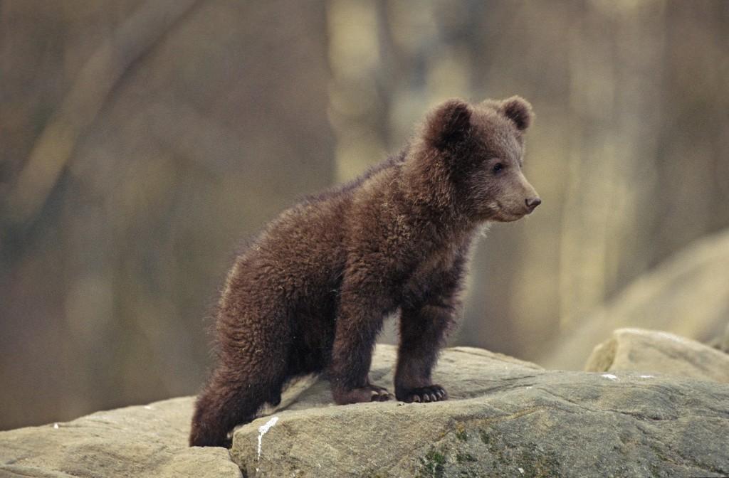 Cucciolo di orso marsicano