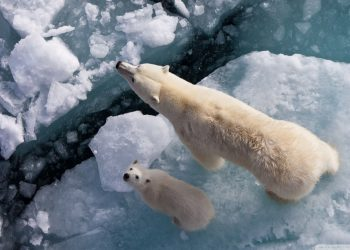 Orsi polari minacciati dal global warming