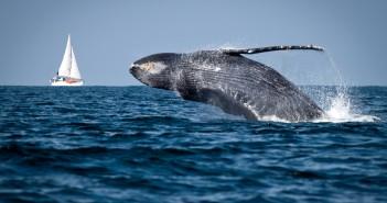 Una balena in mare aperto