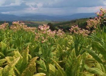 Una piantagione di tabacco