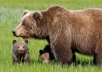 L'orsa Daniza con i cuccioli