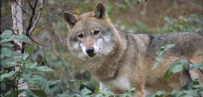 Un lupo