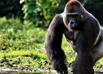 Un gorilla di montagna (foto: sfondilandia.it)