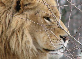 Un esemplare di leone indiano