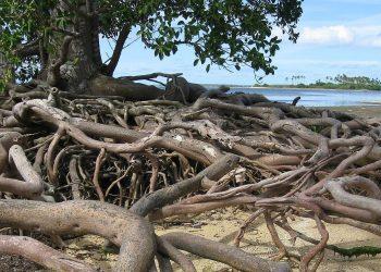 Alcune piante di mangrovia