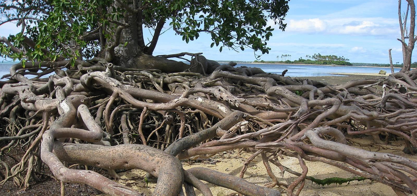 Le foreste di mangrovie aiutano a combattere l for Pianta della foresta di pioppo