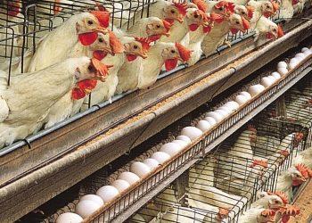 Un allevamento intensivo di polli (foto: www.afroditaskitchen.it/)