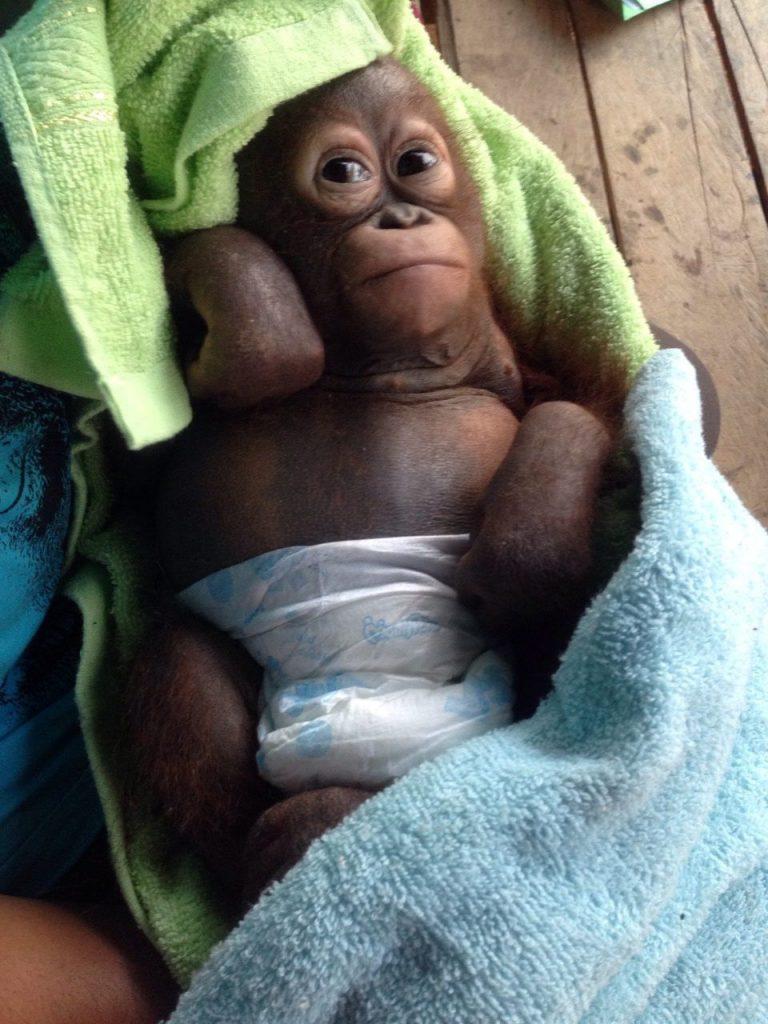 Budi, il cucciolo di orango salvato