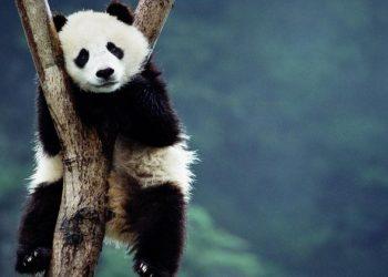 Un esemplare di panda gigante (foto: http://wallerz.net/)