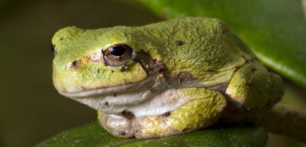 Una rana (foto: freeimages.com)