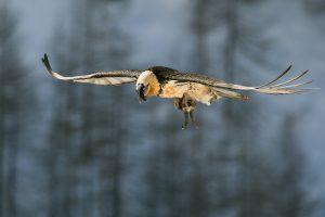 Il fruttuoso volo del gipeto - Alberto Bontacchio - 1° Fauna