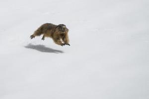 Marmotta nella neve - Annamaria Pernstich - 3° Fauna