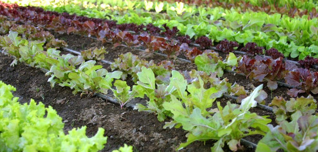 Piante di insalata in un orto (foto: freeimages.com)