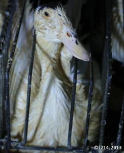 anitra-in-gabbia-per-produzione-foie-gras