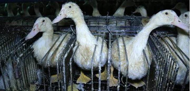 Tre oche messe all'ingrasso per la produzione di foie gras