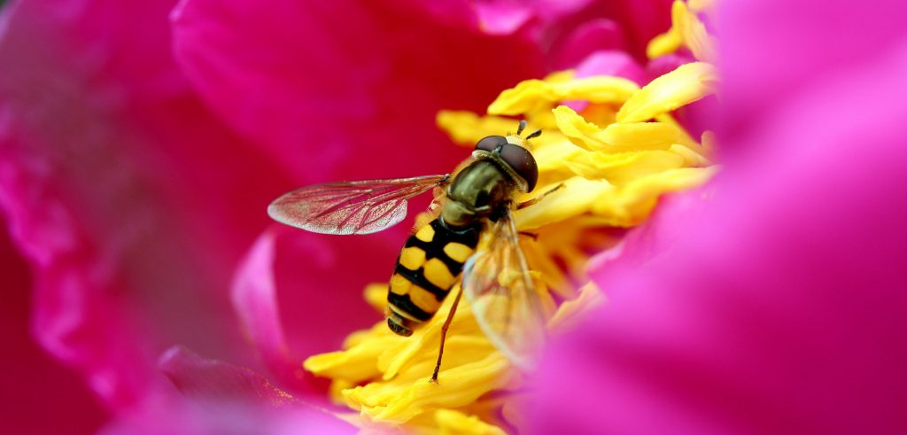 Un'ape posata su un fiore (foto: all4desktop.com)