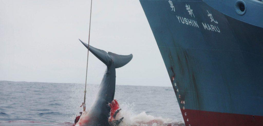 Una baleniera giapponese in azione (foto: www.improntaunika.it)