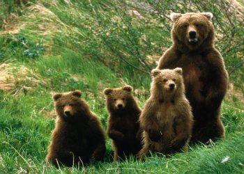 Una famiglia di orsi (foto: www.lavocedeltrentino.it)