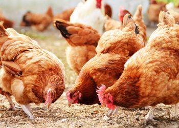 Alcune galline (foto: www.rieper.com)