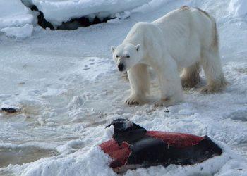 Un orso polare intento a sbranare un delfino (foto: www.lifegate.it)