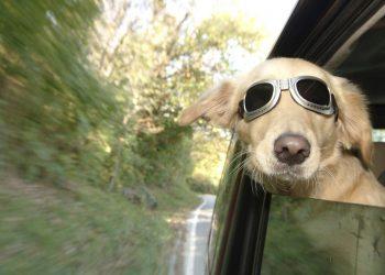 Un cane in automobile (foto: www.petsit.com)