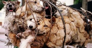 Cani catturati per il festival di Yulin (foto: www.meteoweb.eu)