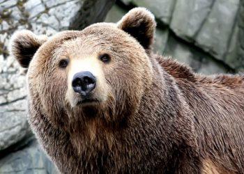 Un orso bruno (foto: immagini.4ever.eu)