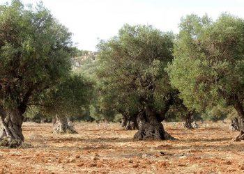 Un uliveto (foto: www.ilmiosalento.com)