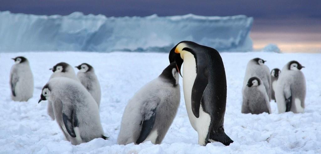 Pinguini della Commonwealth Bay