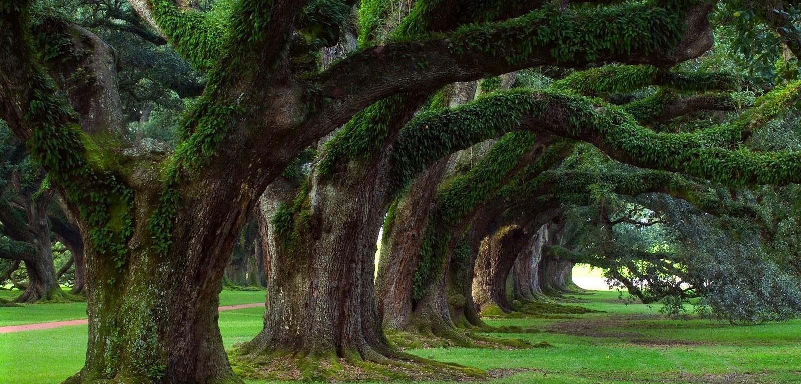 Censimento degli alberi monumentali: tutti i ritardi dei comuni italiani -  Green.it