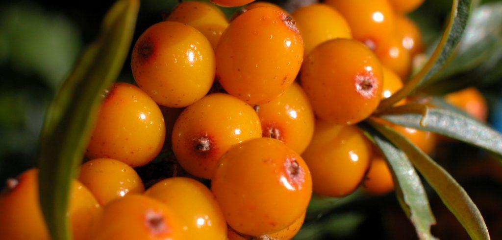 olio di olivello spinoso