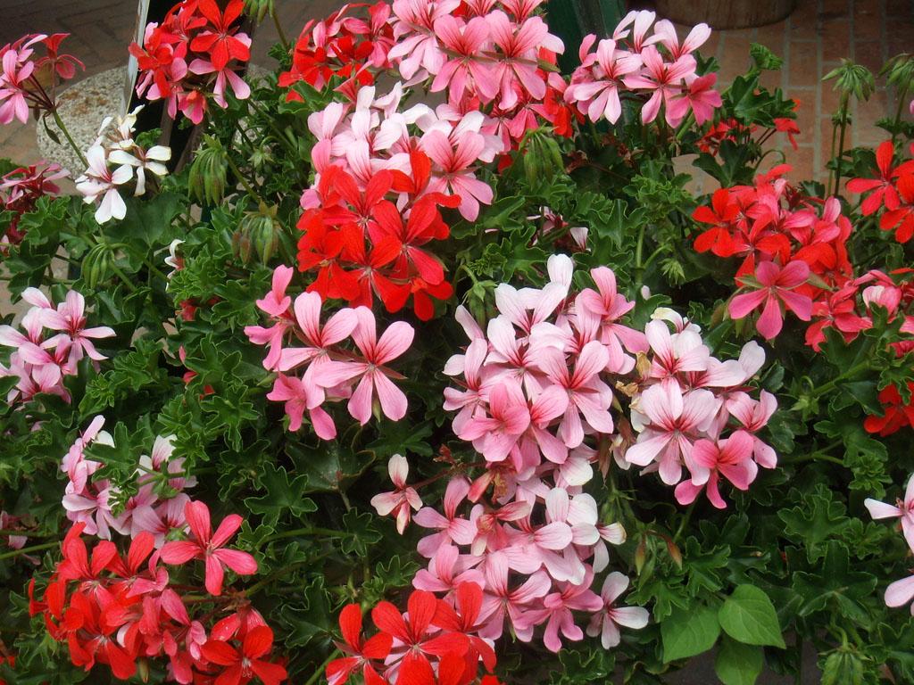 Quali fiori coltiviamo questa primavera for Fiori gerani