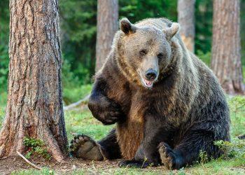 un orso bruno