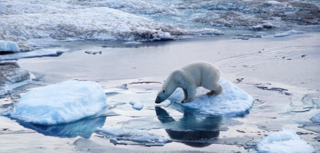 Orso polare - aumento temperatura