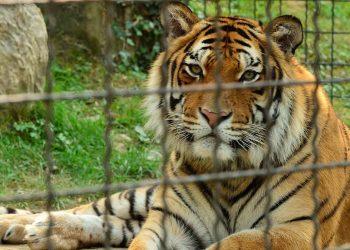 monaci buddisti abusi tigri