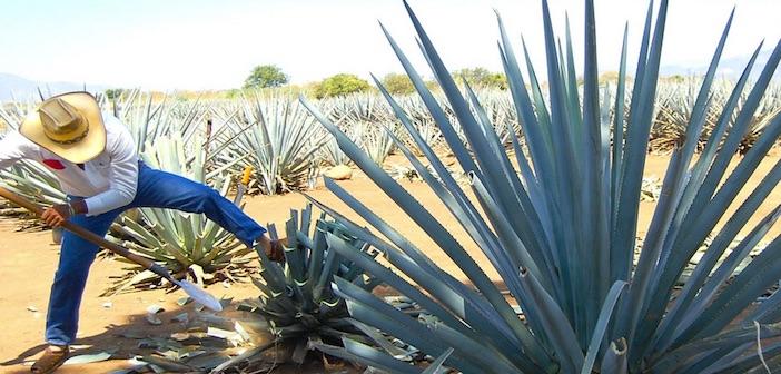 Bioplastica dalla tequila
