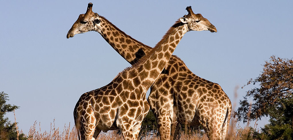 Giraffe by Luca Galuzzi