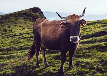 Emissioni bovine