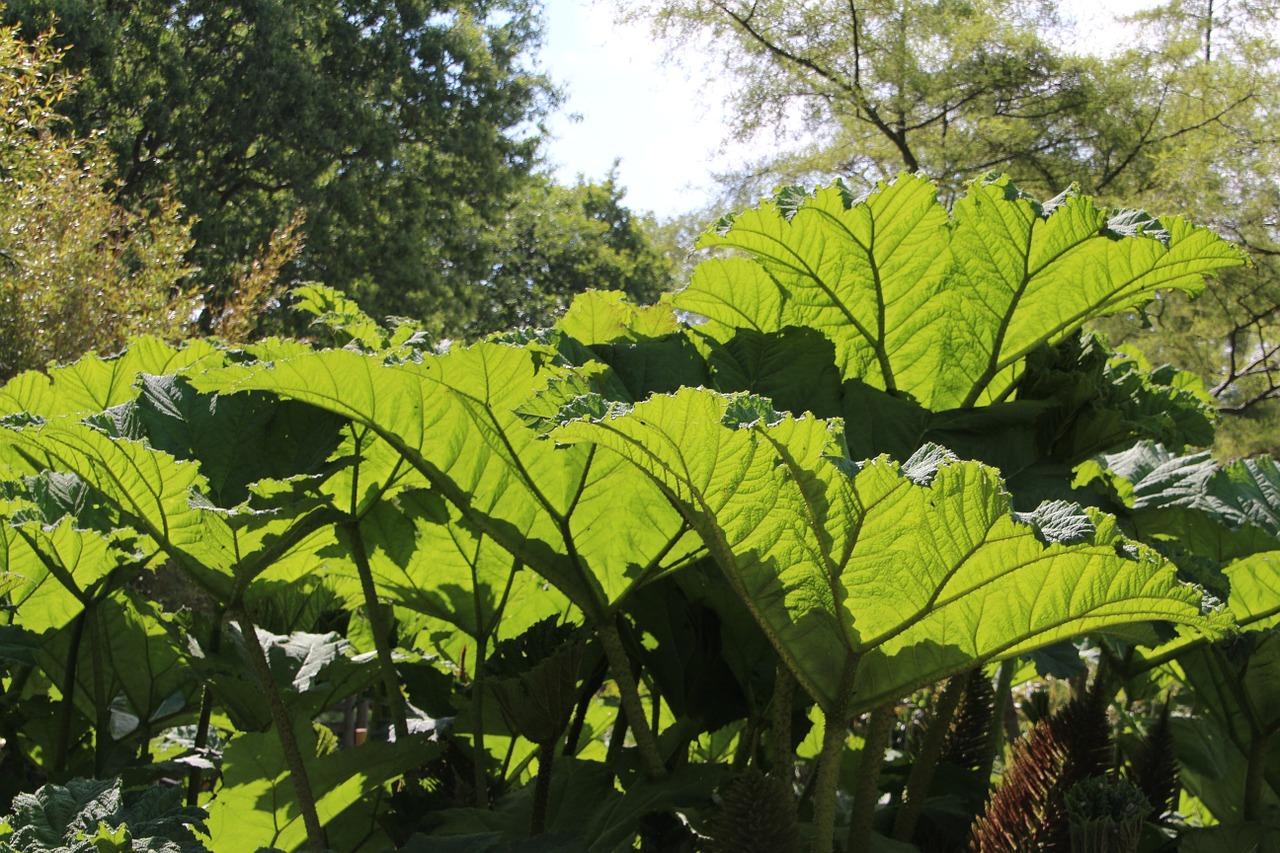 chilean-rhubarb-598355_1280