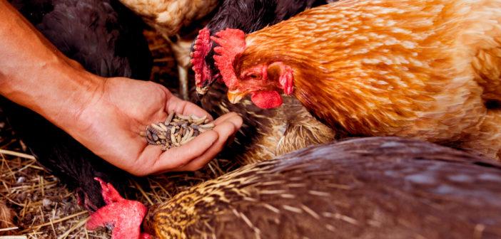 Mad Agriculture: l'alternativa sostenibile all'industria dei mangimi