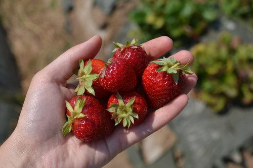 fragole JSM Organic Farms, foto di Lily Sheridan su www.kitchentableadvisors.org