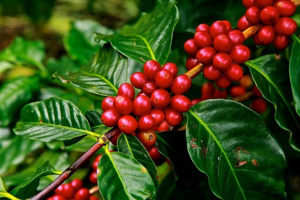 frutto di caffè o drupa (foto: https://pixabay.com/)