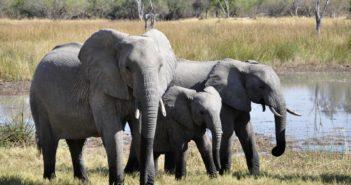 Elefante africano e commercio dell'avorio (foto: https://pixabay.com/)